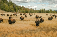 Bison_Yellowstone.jpg