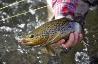 Brown_Trout_streamerIII.jpg
