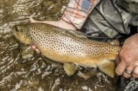 Brown_trout.jpg