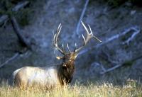 Bull_Elk.jpg