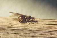 Honey_Ant.jpg