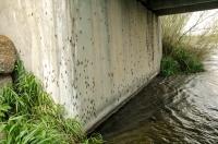 Salmonfly_nymphs_on_Bridge.jpg