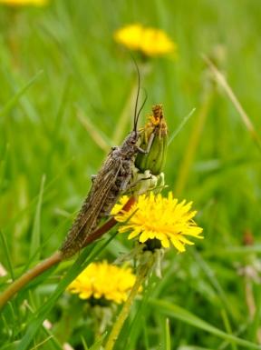 Summer_Salmonfly_Flower_800x1071.jpg