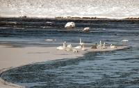 Swans_on_Ice.jpg