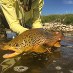 This nice brown was caught by Scott Kennedy on the Lower Teton River.
