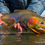 Devan Ence caught this superb Cutthroat Trout fishing the Lower Teton River.