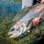 Trout don't get much more beautiful than this fine Henry's Fork Rainbow.