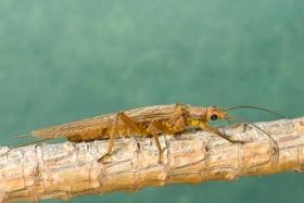 Golden_Stonefly_03_Adult.jpg - Acroneuria, classenia