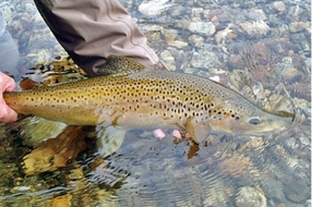 Brown_Trout_Release.jpg