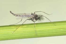 Midge_02_adult_male_Madison.jpg - Chironomidae